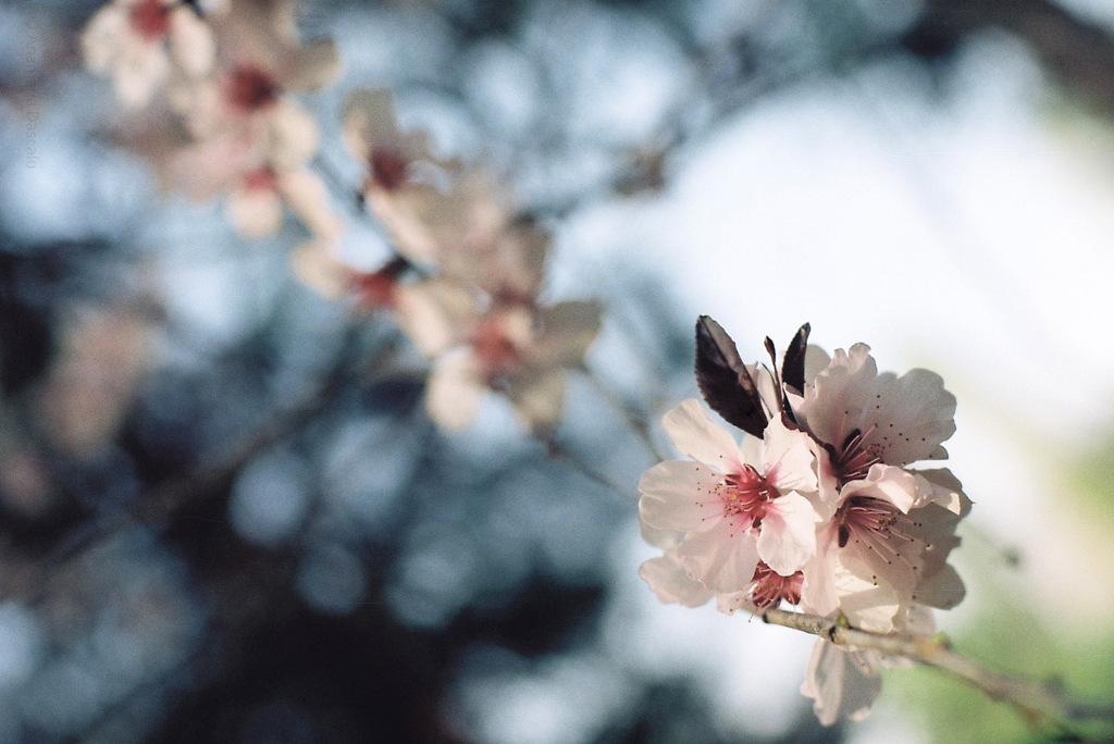 """Ciresi infloriti primavara"", ""in bloom"", ""spring"", ""flori"""